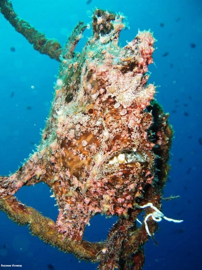 frogfish diving aqaba