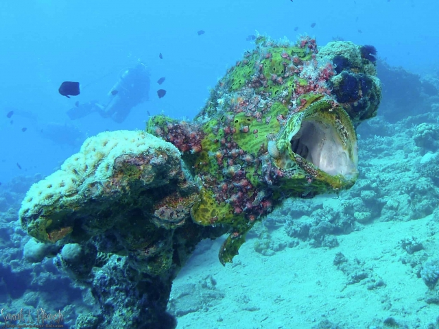 Nuweiba Giant Frog Fish Diving