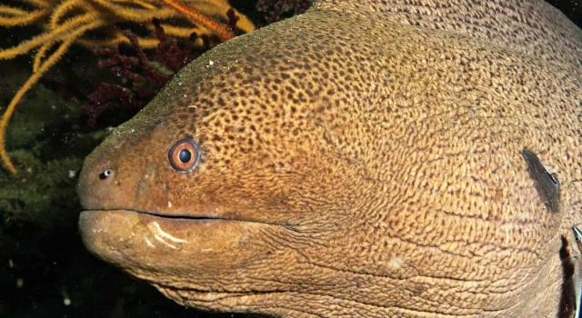 Moray Eel Closeup, Ray