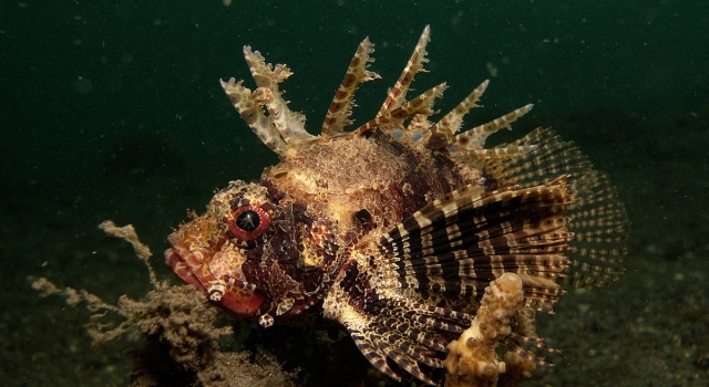 Stonefish At Night