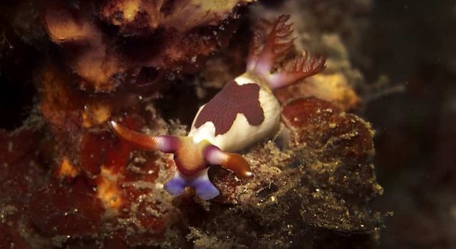 Surprising Looking Nudibranch
