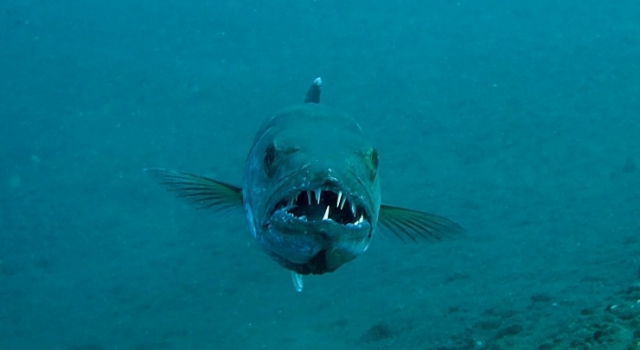 Barracuda Face Scary Smile