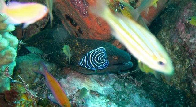 Juvenile Angelfish And Moray Eel, Ray