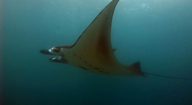 Manta Ray Flying Viewed From Side