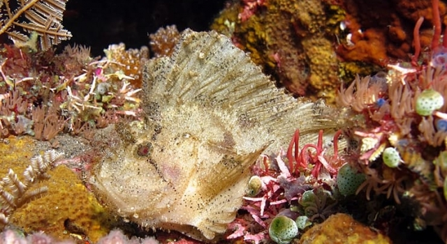 White Stonefish