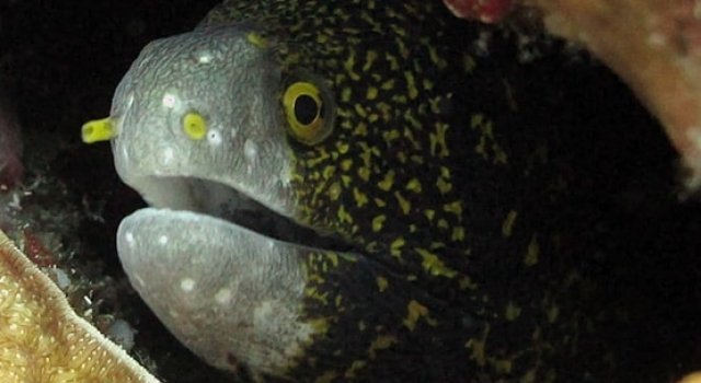 Moray Eel Indonesia, Ray