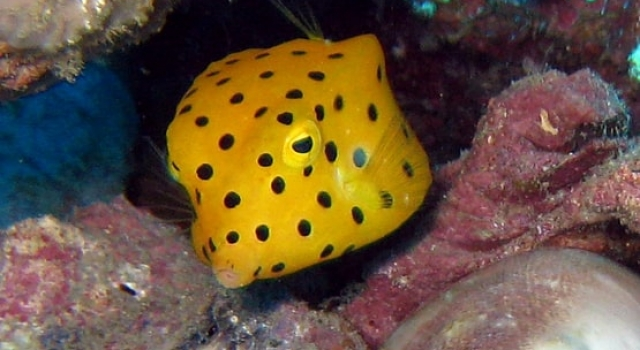 Black Spotted Yellow Boxfish