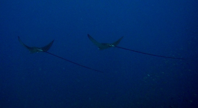 Eagle Rays Flying Away