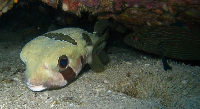 Pufferfish Below
