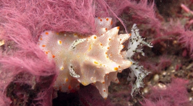 Beautiful Pink Coral Nudibranch