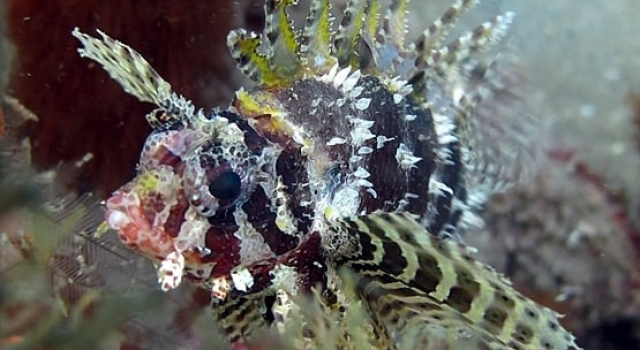 Small Lion Fish