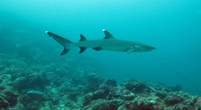 Whitetip Moving Fast, Whitetip Shark