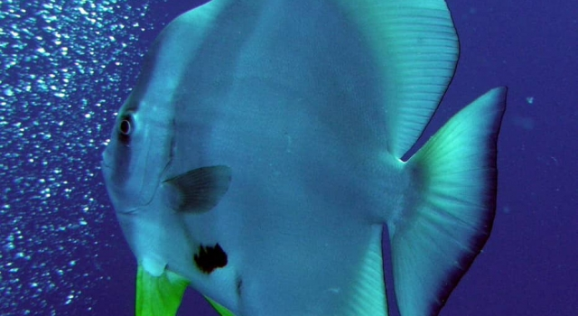 Batfish Bubbles