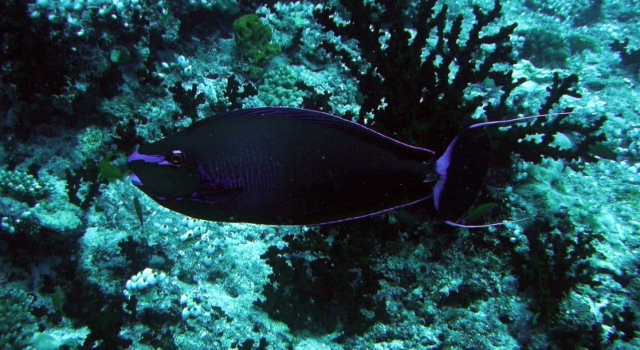 Purple Black Surgeonfish