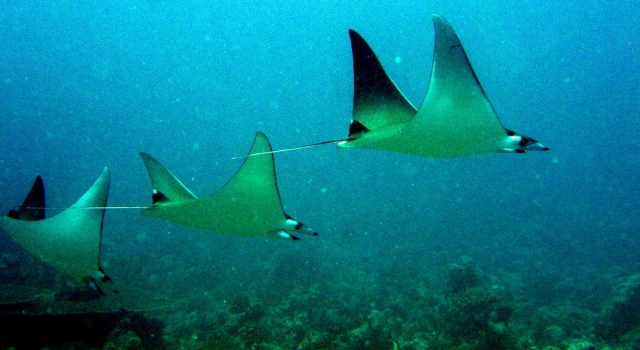 Stack Eagle Rays
