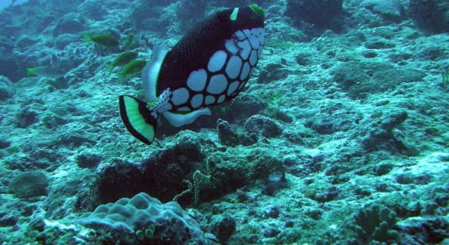 Triggerfish Ready To Defend Its Family