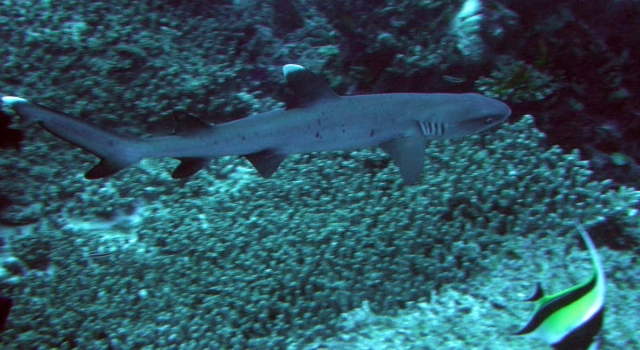 Whitetip, Whitetip Shark