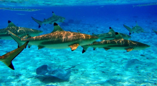 Blacktip Sharks Ray And More