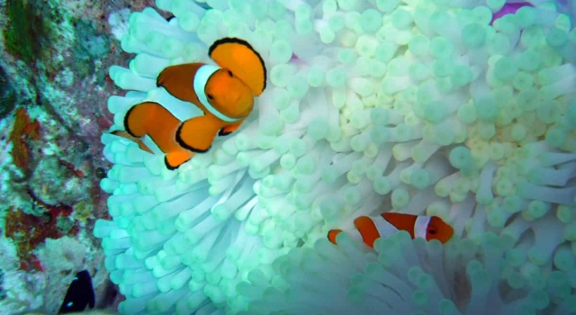Anemone House Clownfishes