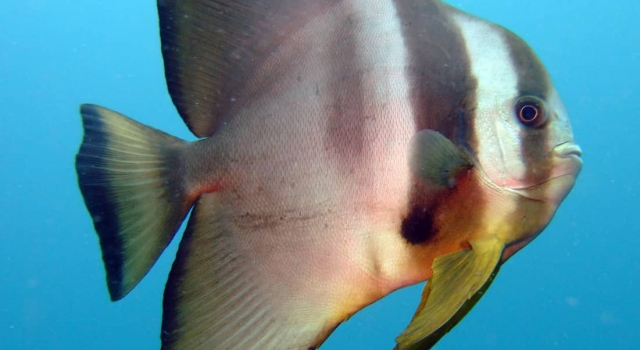 Batfish Blue Sea