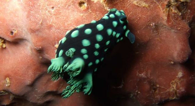 Black Green Nudibranch