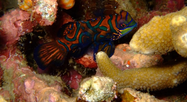 Mandarin Fish Resting In Reef