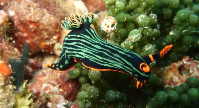 Orange Black Nudibranch