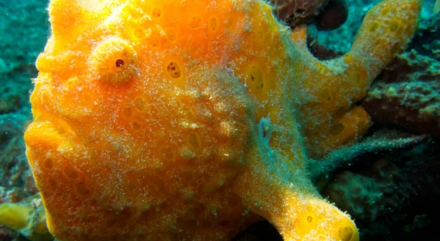 Orange Frogfish Looking At Us