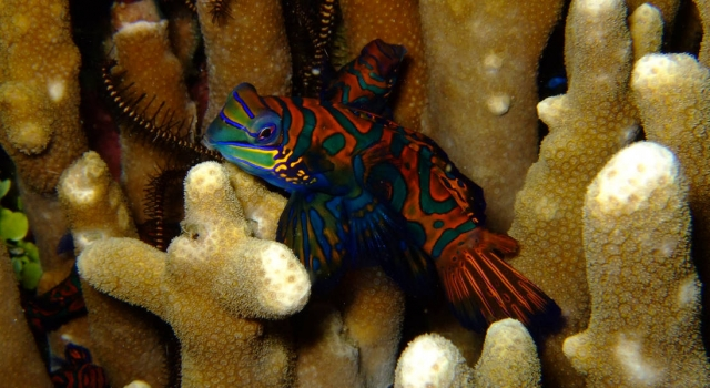 Orange Green Yellow Blue Mandarin Fish
