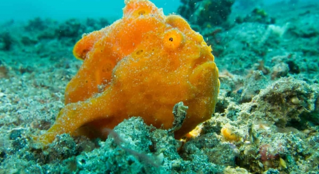 Rare Orange Frogfish