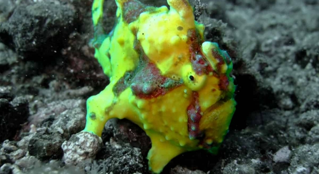 Small Yellow Frogfish