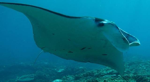 Flying Ray Manta in Bali! Manta Ray