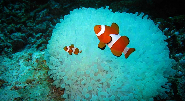 Clown fishes waiting in front of their blue anemone house, Clownfish