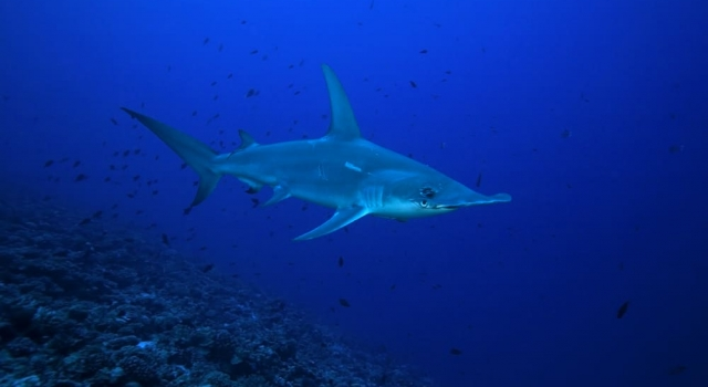 Huge Hammerhead Shark patrolling the reef in French Polynesia