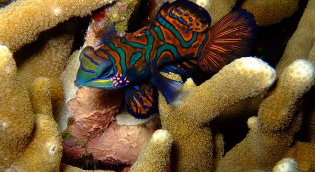 Beautiful & Colorful Mandarin Fish