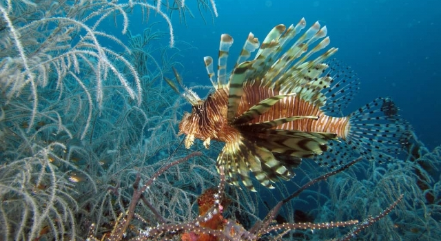 Lion Fish swimming in crystal clear water