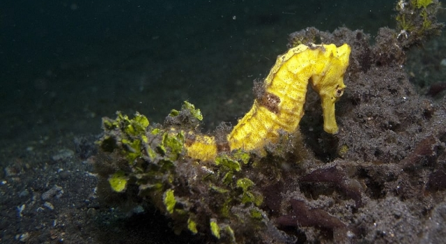 Yellow Seahorse in Lembeh Strait