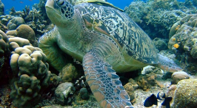 Huge Turtle resting on the sea floor