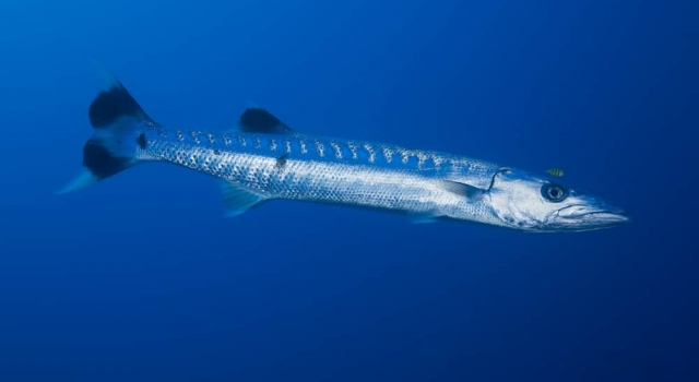 Barracuda Black Fin