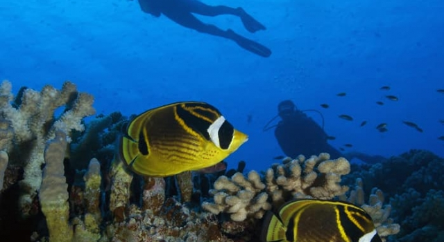 Divers Butterfly Fish