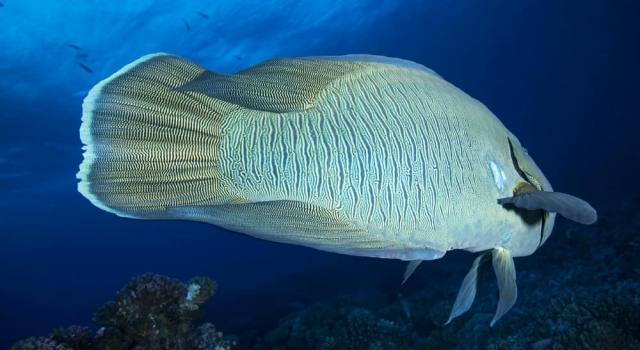 Huge Fish Napoleon Wrasse