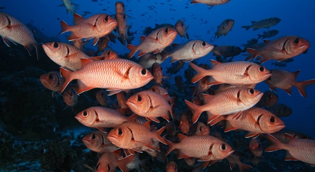 Schoals Squirrelfish