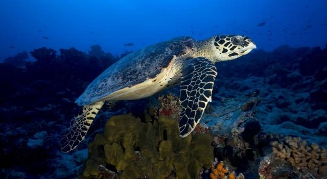 https://divezone.net/c/s/photos/yann-hubert-polynesia/turtle-reef.jpg