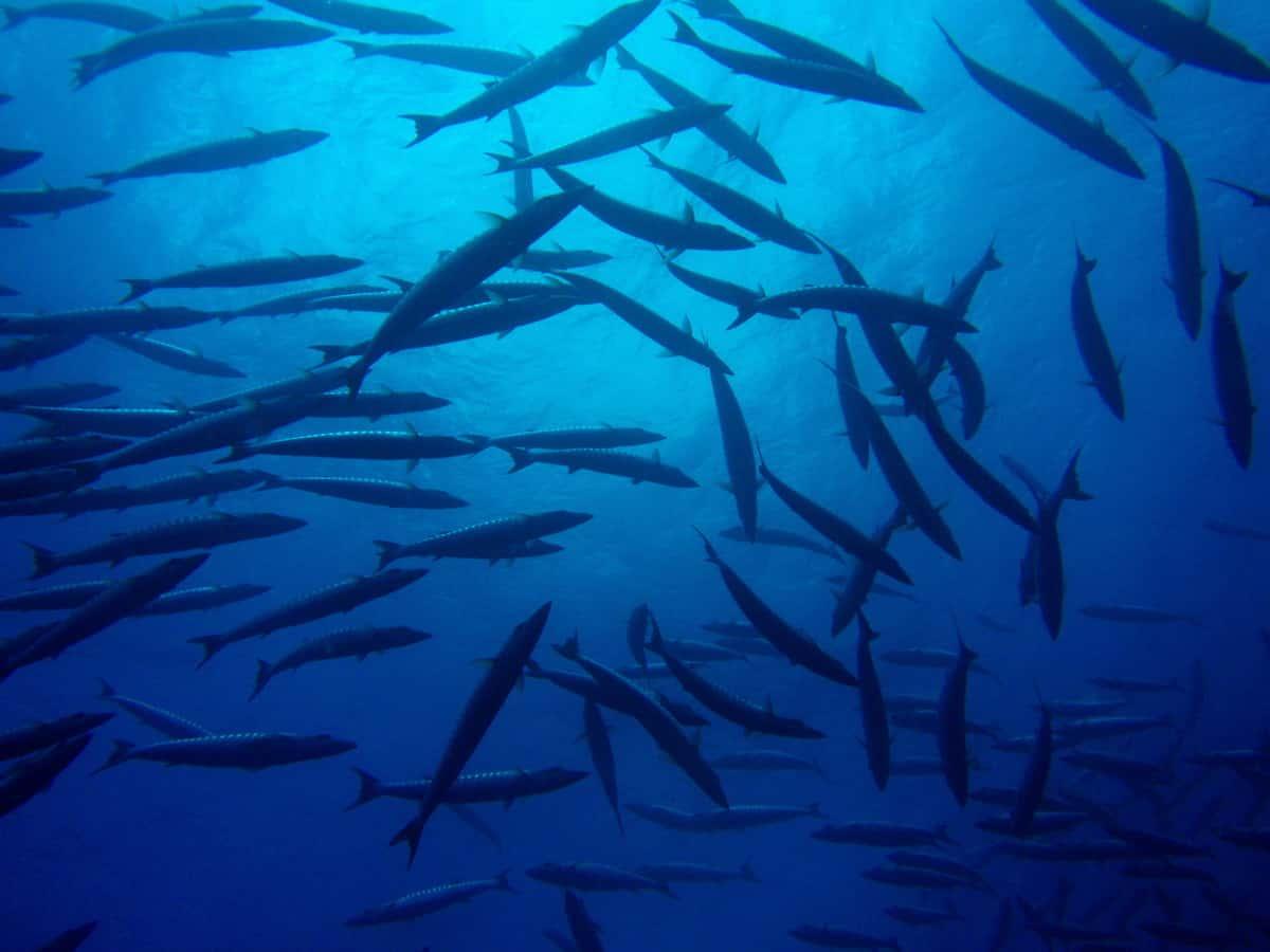 Pewter Belt Buckle animal fish Barracuda Teeth Jaw NEW