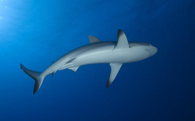 sharks of rangiroa