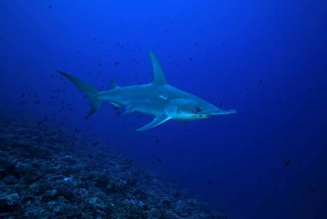 diving with hammerhead shark rangiroa