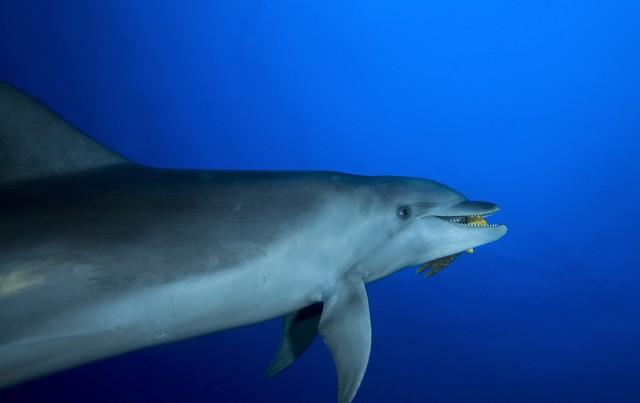 large dolphin at the tiputa pass at rangiroa