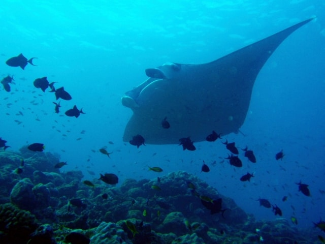 Manta Ray Facts And Information Divezone