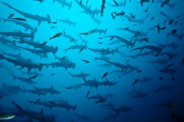 hammerhead-sharks-cocos-island