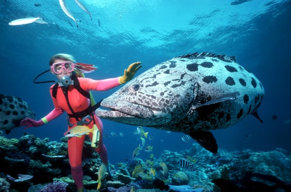 Experience diving up close Giant Potato Cods such as this one in the Code Hole, one of the Great Barrier Reef's famous dive site.